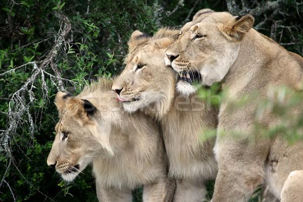 Lions Stock photo © fouroaks