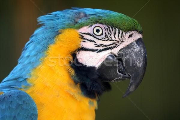 Macaw Parrot Profile Stock photo © fouroaks