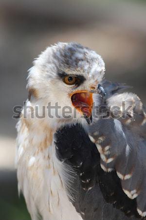 Black-shouldered Kite Bird Stock photo © fouroaks