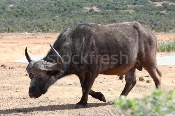Cape Buffalo Bull Stock photo © fouroaks