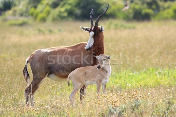 立って 赤ちゃん 自然 母親 アフリカ 動物 ストックフォト © fouroaks
