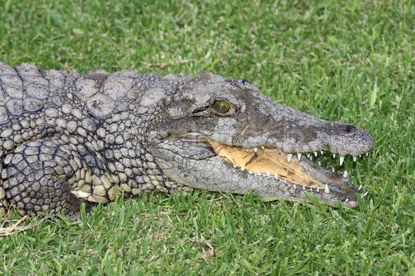 Nile Crocodile Portrait Stock photo © fouroaks