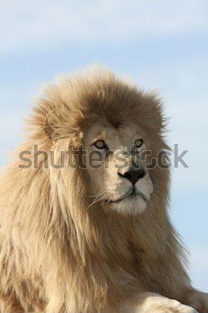 Magnífico leão retrato bonito masculino branco Foto stock © fouroaks
