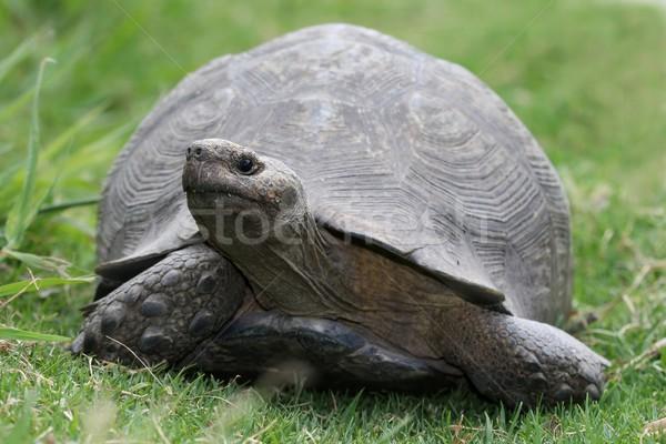черепаха большой шее ходьбе зеленая трава трава Сток-фото © fouroaks