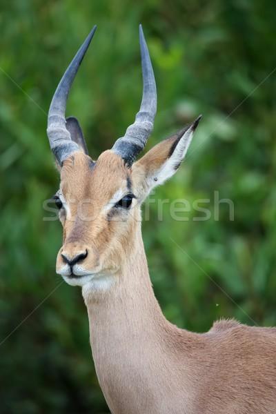 Young Impala Antelope Portrait Stock photo © fouroaks