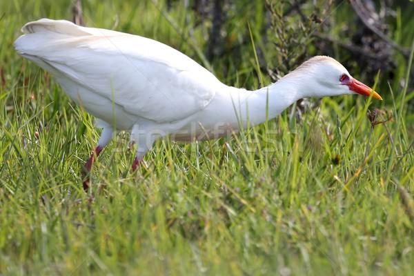 Bovins oiseau chasse alimentaire longtemps herbe Photo stock © fouroaks