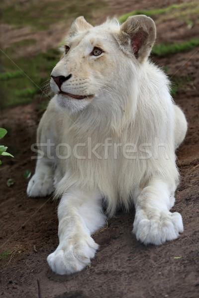 White Lion Cub Stock photo © fouroaks