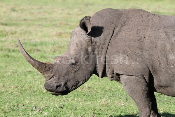 White Rhino Portrait Stock photo © fouroaks