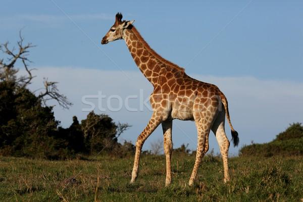 Giraffe in Africa Stock photo © fouroaks