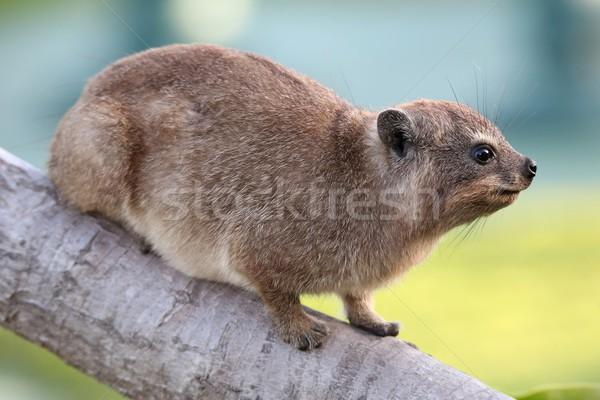 Cute rock animales conejo Sudáfrica árbol Foto stock © fouroaks
