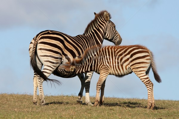 Baby Zebra Suckling Stock photo © fouroaks