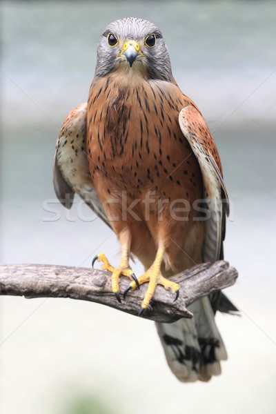 Rock Kestrel Bird Stock photo © fouroaks