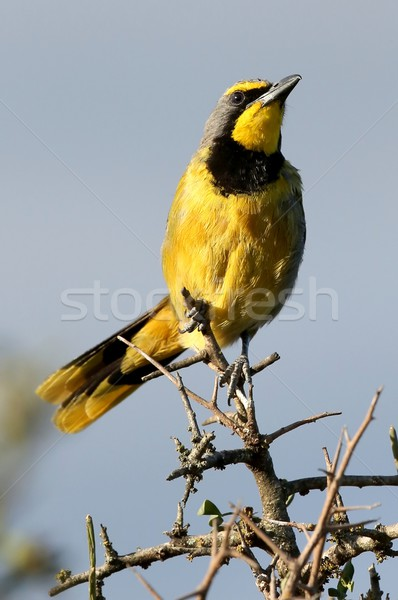 Bushshrike or Bokmakierie Bird Stock photo © fouroaks