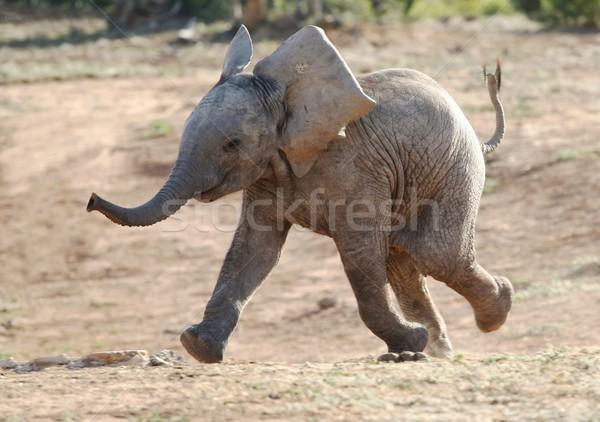 Baby olifant lopen opgewonden afrikaanse olifant afrika Stockfoto © fouroaks