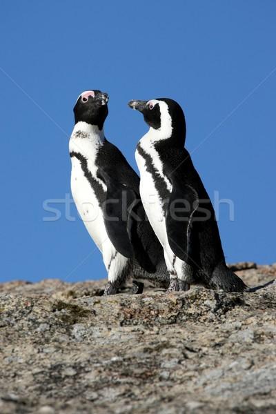 アフリカ 2 南アフリカ 自然 海 鳥 ストックフォト © fouroaks