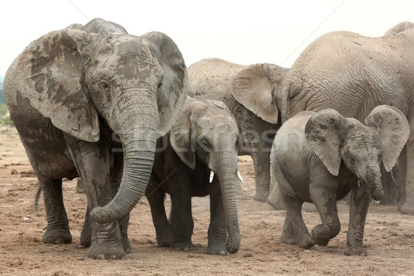 Stock photo: African Elephant Family