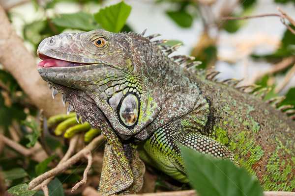 Verde iguana réptil detalhado pele língua Foto stock © fouroaks