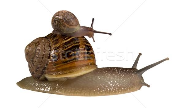 Snail on Back of Bigger Snail Stock photo © fouroaks