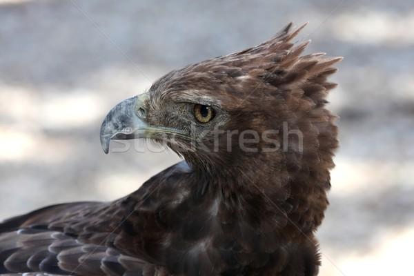 Adelaar vogel buit oog object wild Stockfoto © fouroaks