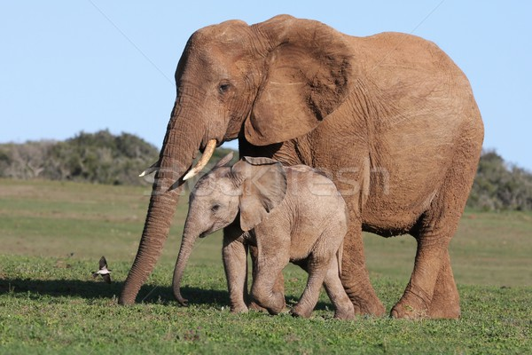 African Elephant Baby and Mom Stock photo © fouroaks