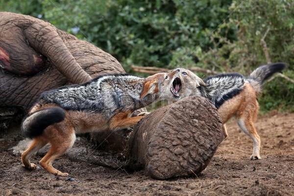 Jackal Fight Stock photo © fouroaks
