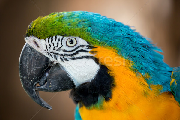 Pretty Macaw Parrot Portrait Stock photo © fouroaks