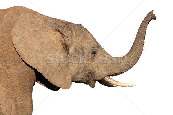 African Elephant Isolated Stock photo © fouroaks