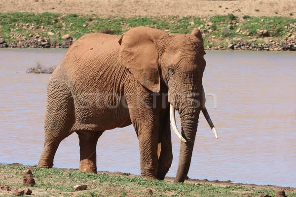 Afrikai elefánt férfi bika nagy víz lyuk Stock fotó © fouroaks