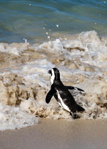 Afrikaanse pinguin zee wal lopen Stockfoto © fouroaks