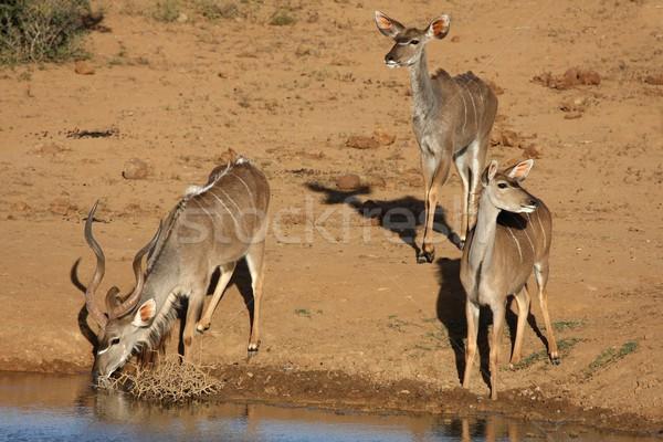 Kudu Antelope Group at Waterhole Stock photo © fouroaks