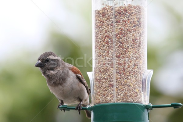 Sparrow on Bird Feeder Stock photo © fouroaks
