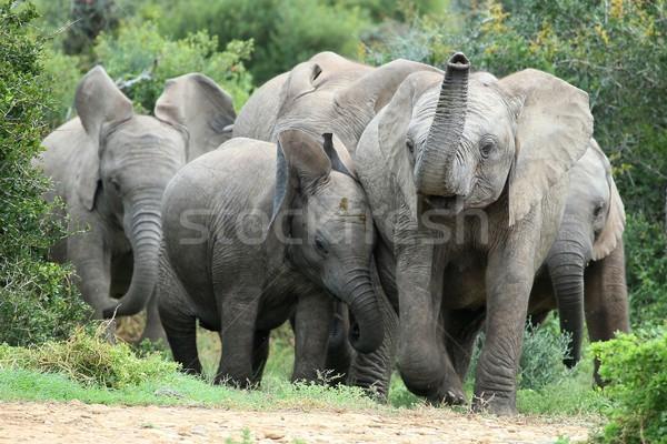 アフリカゾウ 友達 興奮した 小さな アフリカ ストックフォト © fouroaks