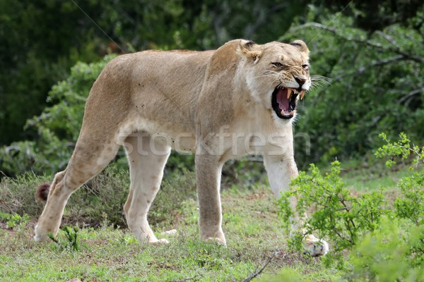Lioness Snarling Stock photo © fouroaks