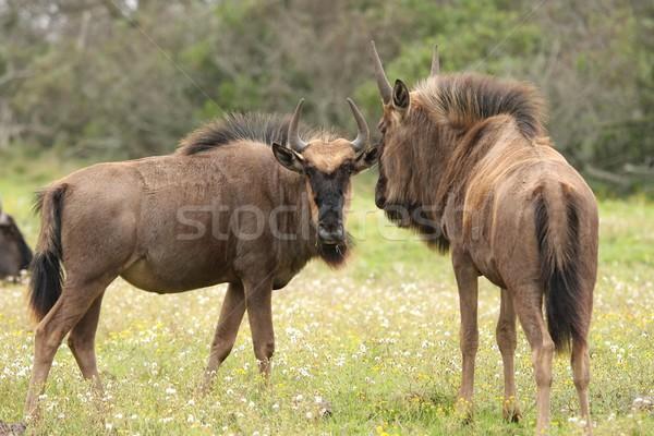 Wildebeest Antelope Stock photo © fouroaks