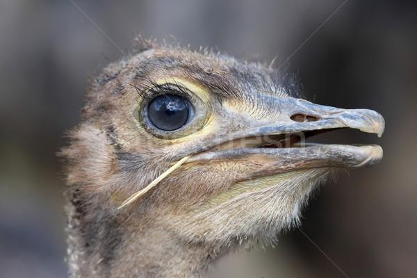 Foto stock: Jovem · avestruz · pássaro · retrato · grama