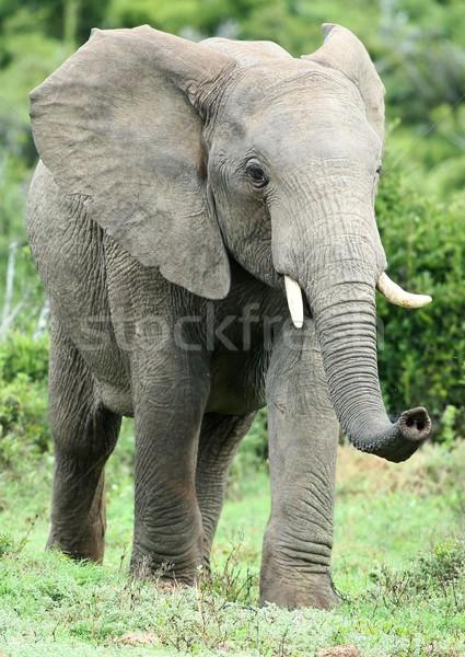 Foto stock: Elefante · africano · grande · aire · parque · elefante · blanco