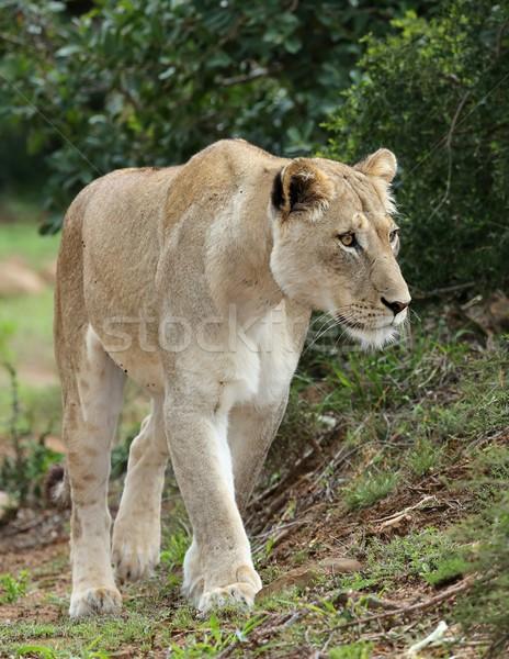 Magnífico África naturaleza retrato África femenino Foto stock © fouroaks