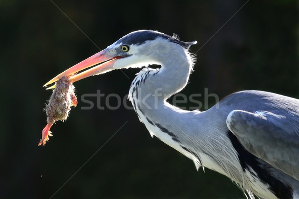 Garça-real pássaro pintinho comer olho Foto stock © fouroaks
