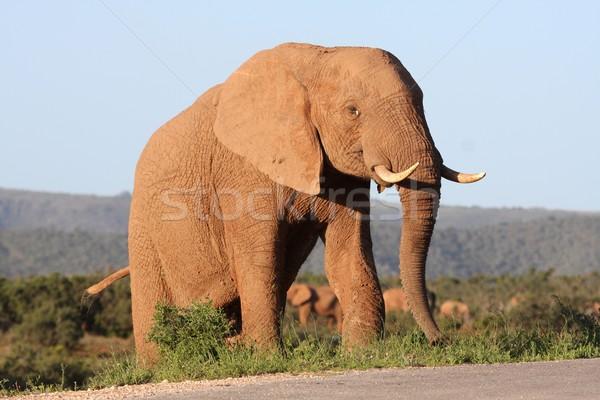 Majestic African Elephant Stock photo © fouroaks