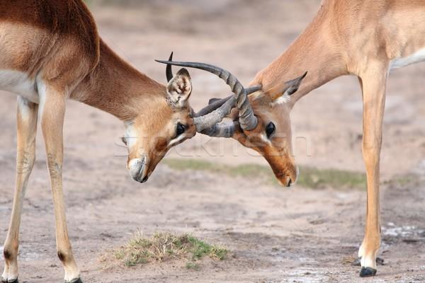 Fighting Impala Antelope Stock photo © fouroaks
