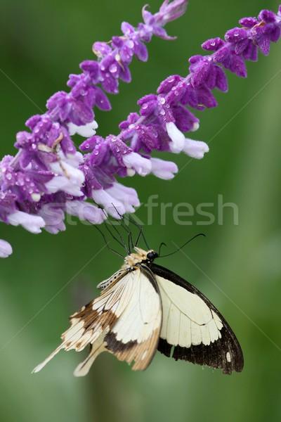 蝶 花 かなり カバー 雨 値下がり ストックフォト © fouroaks
