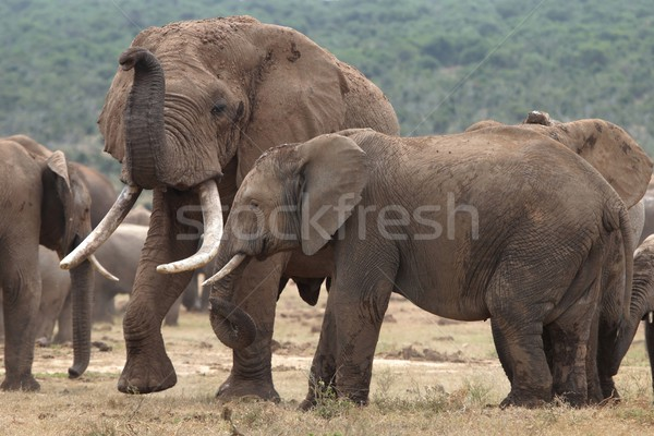 African Elephant Mates Stock photo © fouroaks