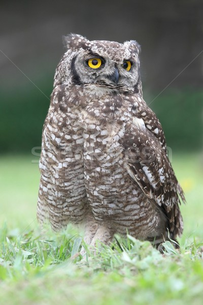 Eagle owl oiseau jaune yeux Photo stock © fouroaks