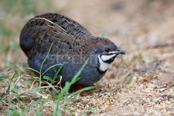 Blue Quail Bird Stock photo © fouroaks