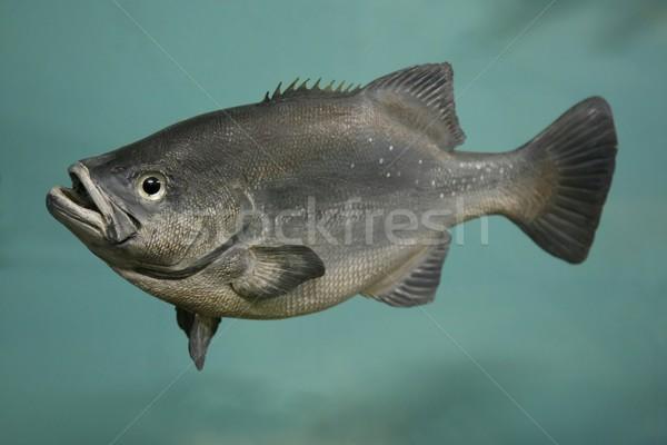 Butterbream Fish Stock photo © fouroaks