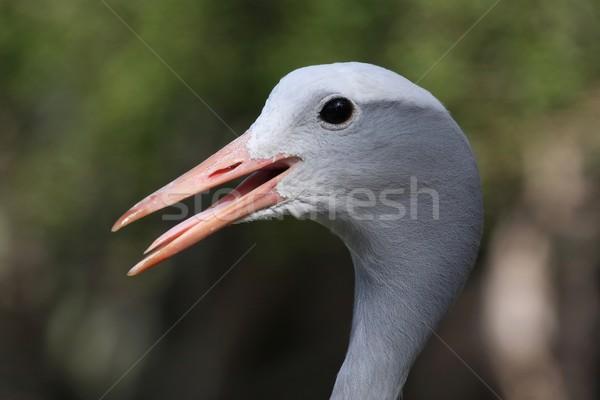 синий крана птица долго клюв открытых Сток-фото © fouroaks