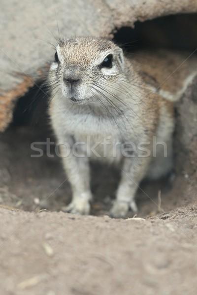 Cute Ground Squirrel Stock photo © fouroaks