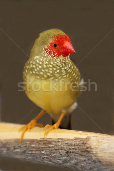 Male Star Finch From Australia Stock photo © fouroaks