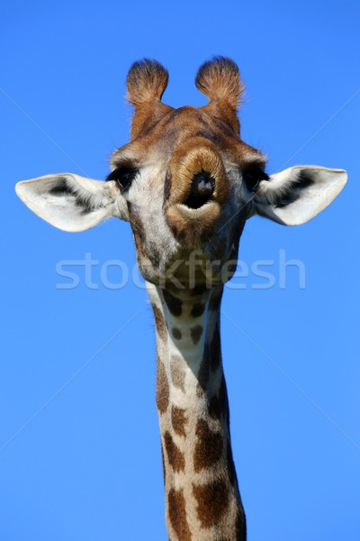 Zsiráf vicces arc néz ahogy arc száj Stock fotó © fouroaks