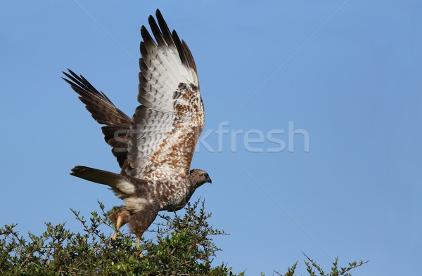 Buizerd vogel buit top boom Stockfoto © fouroaks
